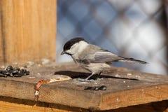 WeideTit, Schwarz-mit einer Kappe bedeckter Chickadee, Parus montanus Lizenzfreies Stockfoto