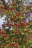 Weißdornhecke mit Früchten Stockbild