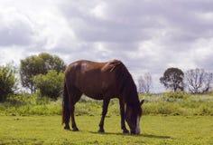 Weidt de paard bruine kleur op weiland Stock Afbeeldingen