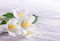 Weiße Blume des Jasmins auf weißem hölzernem Hintergrund Stockfoto