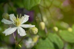 Weiße Blume mit einer Knospe Stockbild