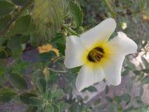 Weiße Blume mit gelber Mitte Stockfotografie