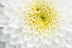 Weiße Chrysanthemeblume Lizenzfreie Stockbilder
