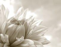 Weiße Dahlie Stockbild