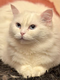 Weiße flaumige Katze Stockbilder