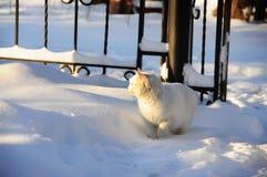 Weiße flaumige Katze im Schnee Stockfoto