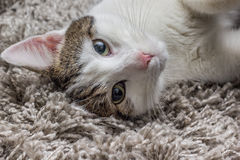 Weiße graue Katze mit den großen Augen, die auf dem Teppich stillstehen Stockbilder