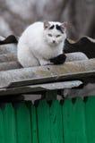 Weiße Katze mit aufpassendem Opfer des schwarzen Endstücks von einem Dach Stockbild