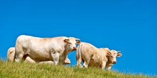 Weiße Kühe, blauer Himmel Stockfoto