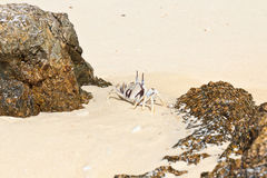 Weiße Krabbe auf dem Strand Stockbilder