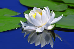 Weiße Lilie auf einem See Stockbilder