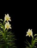 Weiße Lilien-Eckenauslegung auf Schwarzem Stockbild