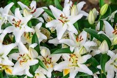 Weiße Lilien schließen oben Stockfotografie