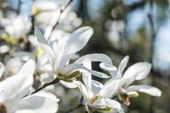Weiße Magnolieblumen Stockfotografie