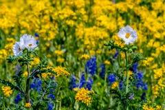 Weiße Mohnblumen gegen ein Meer von gelben Wildflowers in Texas Lizenzfreie Stockbilder