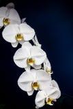 Weiße Orchideen auf Schwarzem Stockbilder