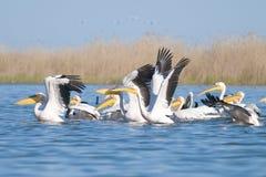 Weiße Pelikane Stockfotos