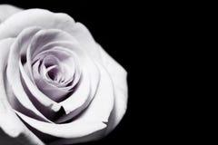 Weiße purpurrote Rose Stockbild