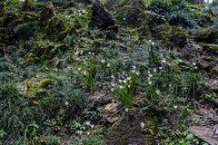Weiße Regenlilie, weiße feenhafte Lilie, weiße Zefirlilie Lizenzfreies Stockfoto