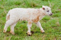 Weiße Schafe Cub Stockfotografie