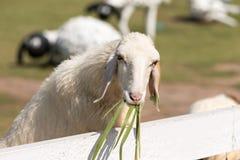 Weiße Schafe, die im Feldbauernhof weiden lassen Stockfotos