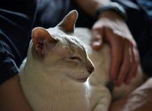 Weiße siamesische Katze, die in den männlichen Händen, Katzengesicht im Profil Nickerchen macht Lizenzfreie Stockbilder