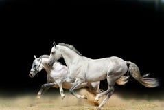 Weiße Stallions getrennt Stockfotografie