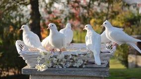 Weiße Tauben stock video footage