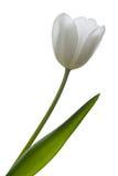 Weiße Tulpe. Lizenzfreies Stockfoto