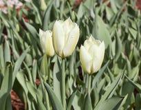Weiße Tulpen mit Tropfen des Taus Stockfotografie