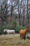 Weiße und braune Pferde Stockbilder