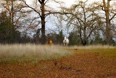 Weiße und braune Pferde Lizenzfreies Stockfoto