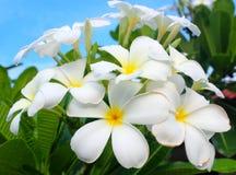 Weiße und gelbe Frangipaniblumen mit Blättern Lizenzfreie Stockfotos