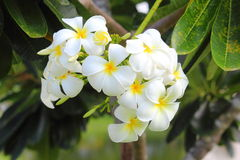 Weiße und gelbe Plumerias Stockbild