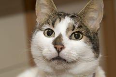Weiße und graue Katze Stockfotografie