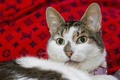 Weiße und graue Katze Stockbilder