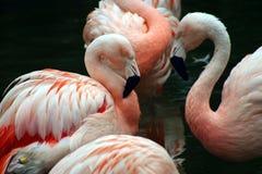 Weiße und rosafarbene Flamingos, die sich pflegen Stockbild