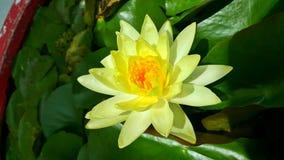Weiße Wasserlilie Lizenzfreie Stockfotografie