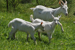 Weiße Ziege und Kinder Lizenzfreies Stockfoto