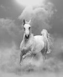 Weißer arabischer Hengst, der in Staub läuft Lizenzfreie Stockfotografie