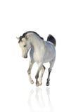 Weißer arabischer Stallion Stockbilder