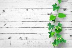 Weißer Backsteinmauerhintergrund mit Kriechpflanze Stockfotografie