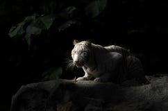 Weißer Bengal-Tiger Lizenzfreies Stockfoto