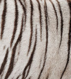 Weißer Bengal-Tigerpelz Lizenzfreie Stockfotos