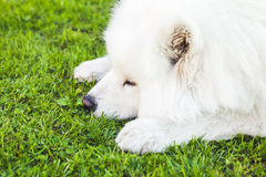Weißer flaumiger Samoyedhund auf einem grünen Gras Stockfotografie