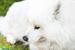 Weißer flaumiger Samoyedhund legt auf ein grünes Gras Stockbild