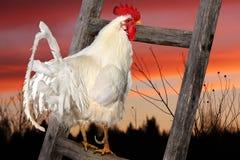 Weißer Hahn, der auf dem Zaun sitzt Steigen der Sonne Lizenzfreie Stockfotos