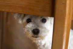 Weißer Hund, der unter Stuhl sich versteckt Lizenzfreie Stockfotografie