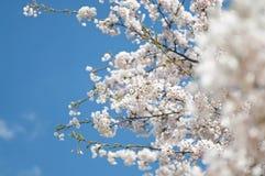 Weißer Kirschbaum, der im Frühjahr blüht Stockfotografie