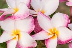 Weißer, rosa und gelber Plumeria Frangipani blüht mit Blättern Stockbild